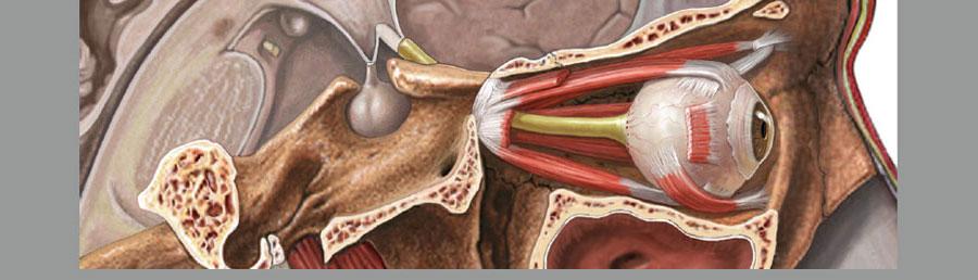 Adam Interactive Anatomy